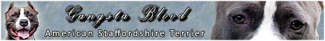 Blue Staff - American Staffordshire Terrier